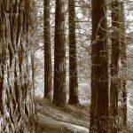 sequoia sempervirens monte cabezon