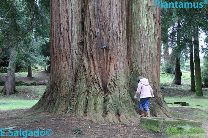 Las Gigantes del Bosque. Sequoia sempervirens.