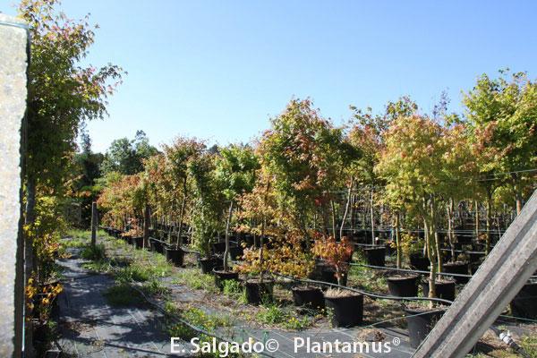 acer-palmatum-parcelal