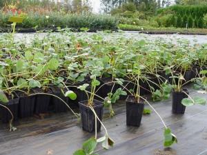 Plantas de fresas en maceta, listas para plantar