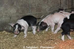 Cerdos Celtas. Lechones de Porco Celta de un mes