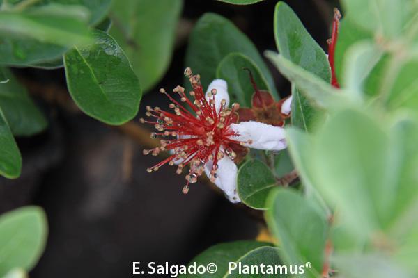 Feijoa, Guayabo de Brasil un perfume con forma de fruta.