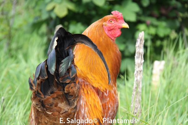 Gallo de Mos, avicultura artesanal en Plantamus®