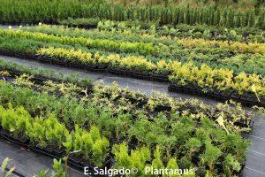 enebros-plantas