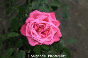rosal-planta-venta