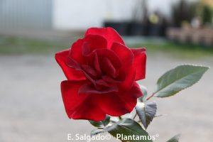 planta-rosal-rojo