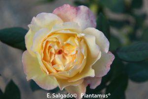 venta de rosales