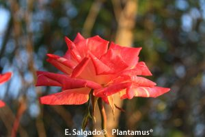 rosales edelrose