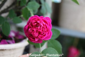 rasa-rose-de-rescht