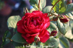 rosal-capricia