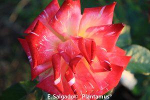 rosal-edelrose