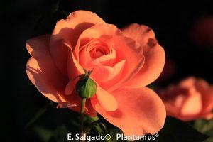 rosal-elaine-paige