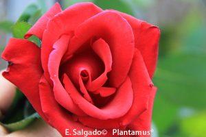 rosal-erotika