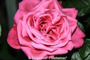 rosal-flor-senteur-royale