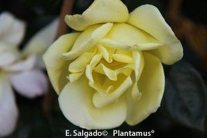 rosal-golden-showers-planta