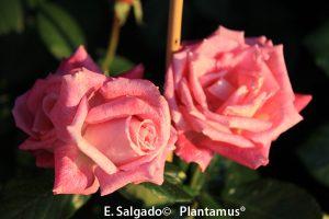 rosal-rose-gaujard
