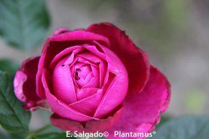rosal-senteur
