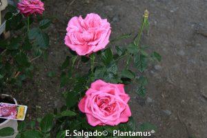 rosales-planta