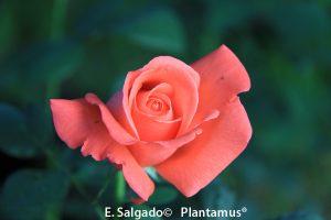rosales-superstar