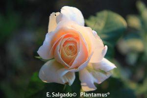 rosales-plantamus