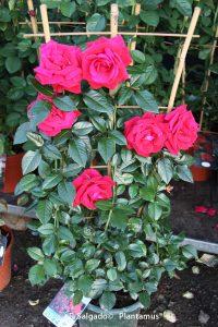 rosal-trepador-rojo