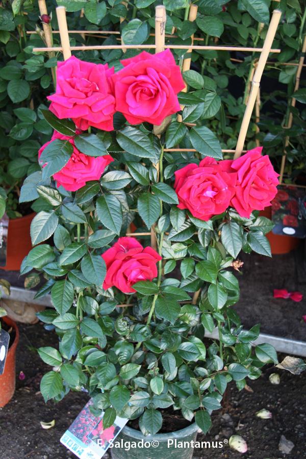 Plantar rosales trepadores en maceta casa dise o - Rosales en macetas ...