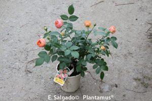 rosales-chippendale-venta