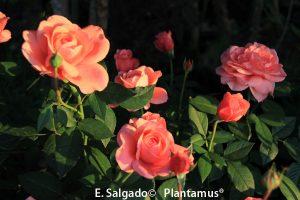 rosales-elaine-paige