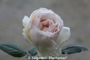 rosales-elvis-venta