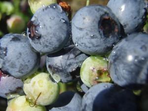 Arandanos. Fruta del Bosque de fácil cultivo.