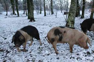 porco celta plantamus
