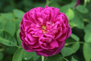 rosal-flor