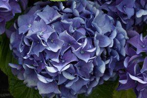 Hortensia, un arbusto con enormes flores.