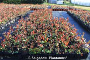 Photinia, 10 motivos  para que la plantes en tu jardín o terraza