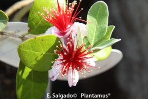 Feijoas de Oferta,compra plantas on line para toda España
