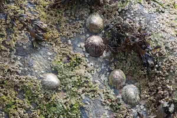 Lapas en las rocas