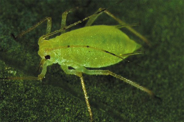 El pulgón en las plantas. Más acerca de esta plaga y como combatirla.