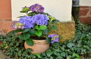 Plantar Hortensias En Tu Jardin O En Maceteros Como Hacerlo Plantamus - Hortensias-cuidados-maceta