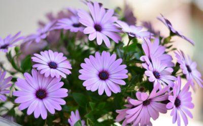 Las margaritas. Su siembra y cuidado para obtener una hermosa flor