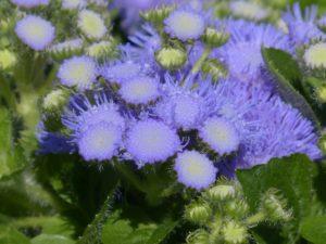 Agerato azul, semillas de flores muy hermosas