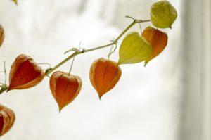 la linterna china. En plantamus semillas de flores