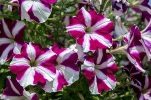 La petunia, dentro de las semillas de flores una de las mas bonitas