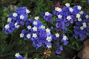Statice sinuata, dentro de las semillas de flores mas hermosas