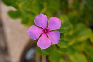 Vinca de madagascar de las semillas de flores mas vistosas