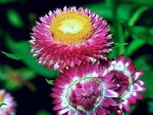 Siempreviva, inmortal o flor de papel. estosnombres reciben estas semillas de flores