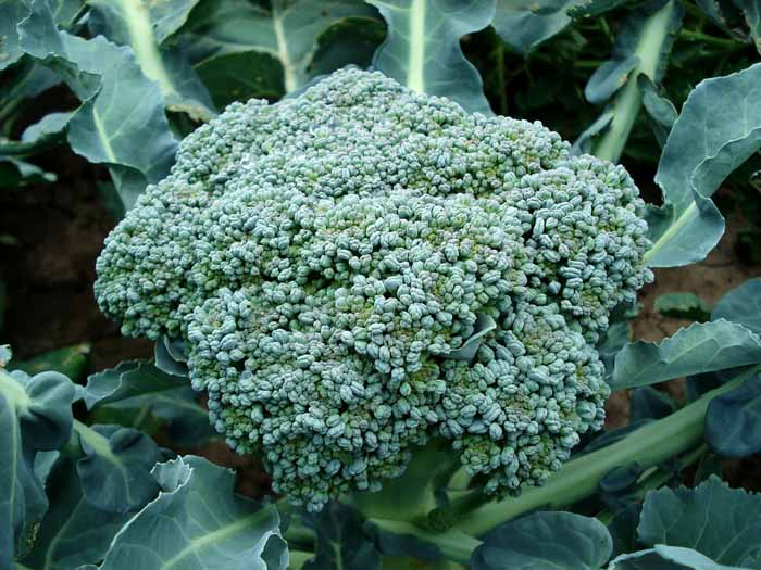 El brócoli en el Calendario de siembra de hortalizas