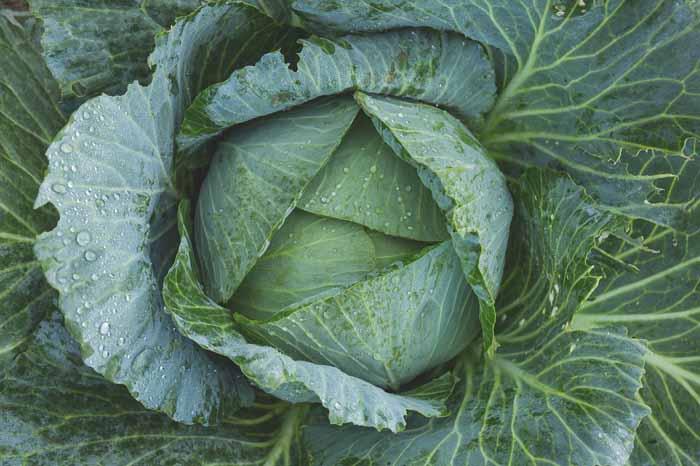 col milán en calendario de siembra de hortalizas