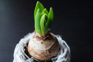 Jacinto, como plantar, cuidar y lograr una expectacular floración