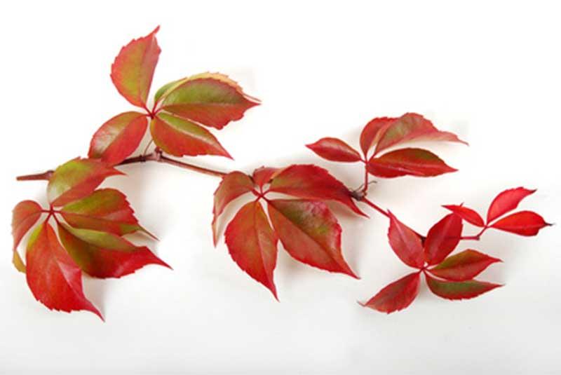 hojas rojas de parra virgen