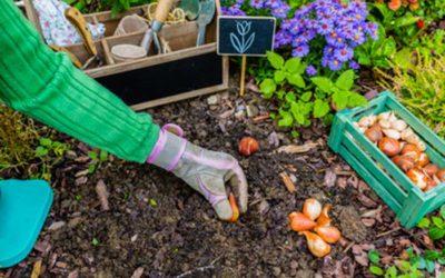 Como plantar tulipanes en el jardín o en macetas para tener éxito.